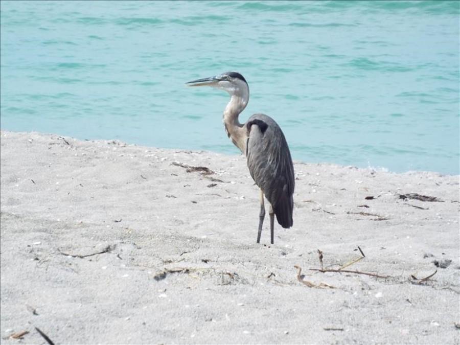 Mr. Blue Heron on the beach